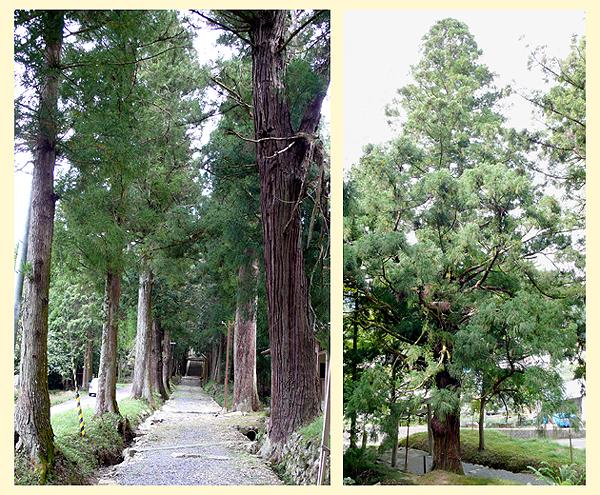 左は参道入り口からみた杉並木。右は推定樹齢300年の杉 新宮町千本(せんぼん)にある宇府山神社の